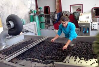 Sélection des raisins au Château Rioublanc