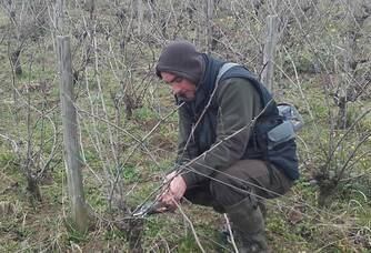 Coupe des pousses de vignes du domaine delhomme & co