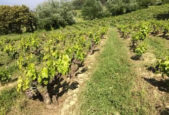 dans les vignes du domaine de crémone