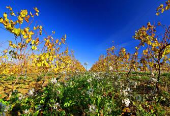 Vie fleurie au pied des vignes du domaine J.Laurens