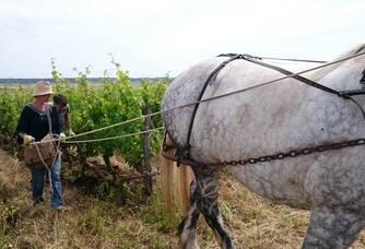 Travail dans les vignes à cheval au domaine Saint Just