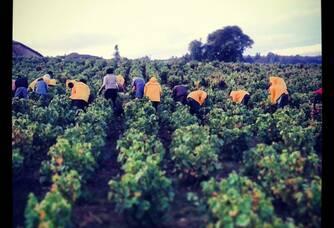 Travail dans les vignes du Domaine de Croifolie