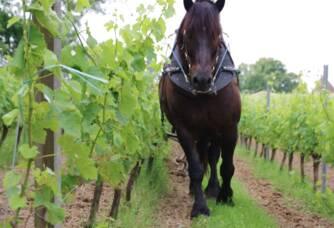 Cheval de trait entre les vignes du château Ogier de Gourgue