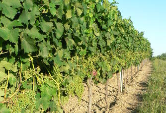 Vignes du Vignoble Queyrens