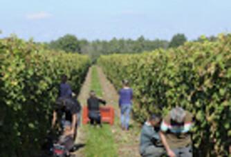 En plein travail dans les vignes du Domaine Christelle Dubois