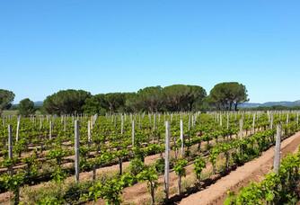 Les vignes du Domaine des Feraud pendant l'été