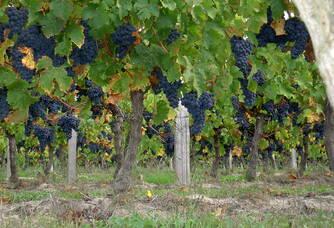 Les vignes du Domaine Damien Bruneau