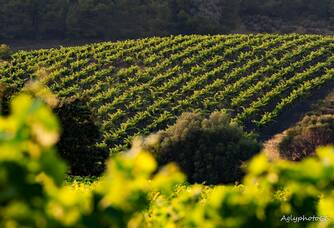 Vignoble du Domaine Piquemal