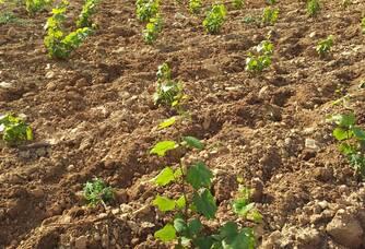 Pousses de vignes du Domaine du Roure