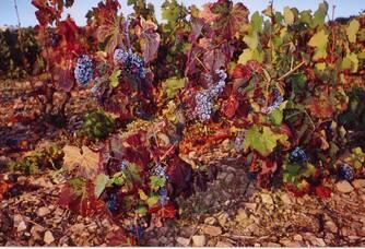 Les raisins du Château Des Correaux