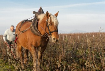 Travail à la vigne accompagné d'un cheval au domaine La Bonne Tonne