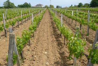 Les vignes du Château La Croix-Davids