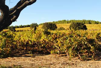 Vue sur les vignes du Chai d'Emilien