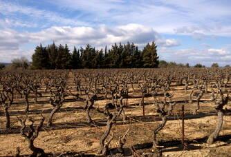 la vigne d'Alicante en hiver