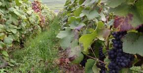 Les Caquerays, vieille vigne complantée des 2 pinots