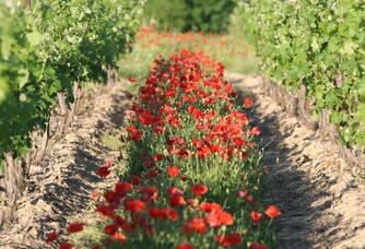 Les vignes au printemps du domaine Sainte Marie de Crozes