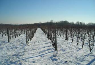 Les vignes du domaine sous la neige