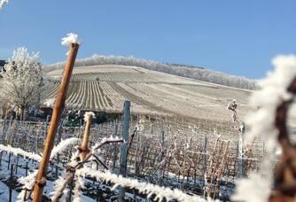 Les vignes sous le givre