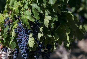 Les raisins de Carignan juste après la véraison.