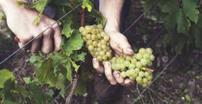 Champagne Cuillier(Champagne) : Visite & Dégustation Vin