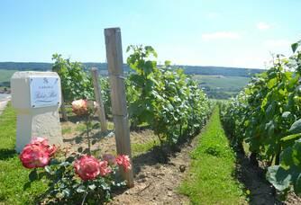 Champagne Robert-Allait - Les fleurs présentes même dans les vignes