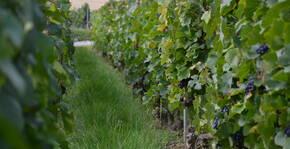 Champagne Robert-Allait - Un rang de vignes