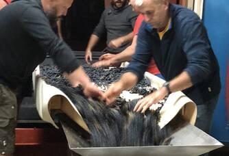 Trie manuel du raisins Rosé des Riceys, Champagne Rosé et Coteaux Champenois