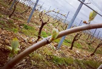 vignes au printemps