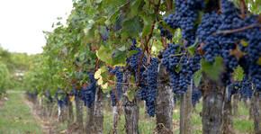 Vignobles Carles - Les grappes de raisin