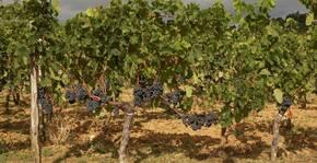 Vignobles Carles - Les pieds de vigne