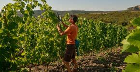 Domaine La Madura - La taille de la vigne
