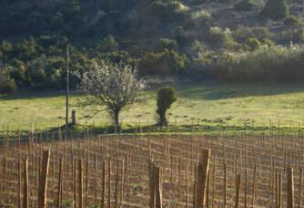 Jeune vigne