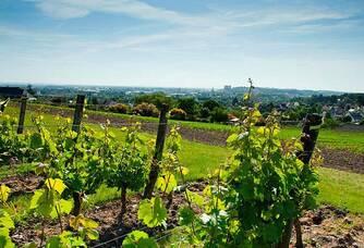 Langlois-Château - Les pieds de vigne