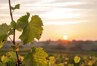 Caves de la Loire - Les feuilles de vigne
