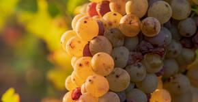 Caves de la Loire - Une grappe de raisin