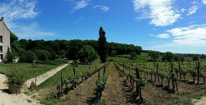 Ampelidae - Les rangs de vigne