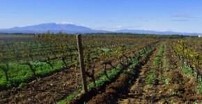 Mas Alart - Les rangs de vigne