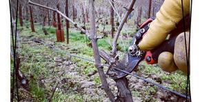 Période hivernale de la taille dans le vignoble