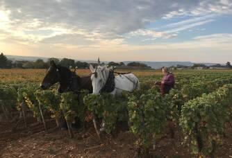 Le travail des sols à Cheval dans nos vignes