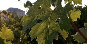 3ha de vignes attenantes au domaine ! Venez les découvrir !