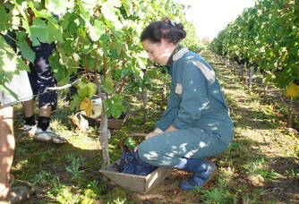 Travail dans les vignes du Domaine Saint-Vincent