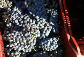 Les récoltes des vendanges au Domaine de L'Oustal Blanc
