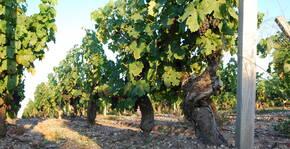 Le vignoble  Château Fourcas Dupré en été