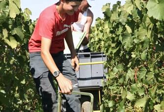 Entre les vignes du Domaine De Sousa lors des vendanges
