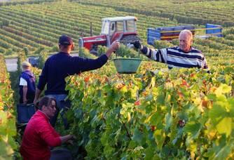Les vendanges au vignoble de la maison De Sousa