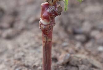 Une jeune pouce dans les vignes des Bormettes