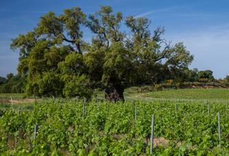 Le chêne multiséculaire surplombant le vignoble des Bormettes