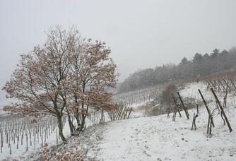 Le vignoble Bott-Geyl sous la neige
