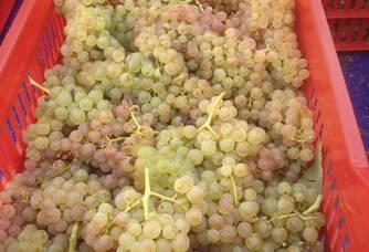 Les récoltes de raisins blancs au Domaine de Crémone