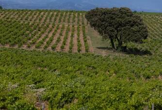 Vue du vignoble du Domaine Les Cailloux